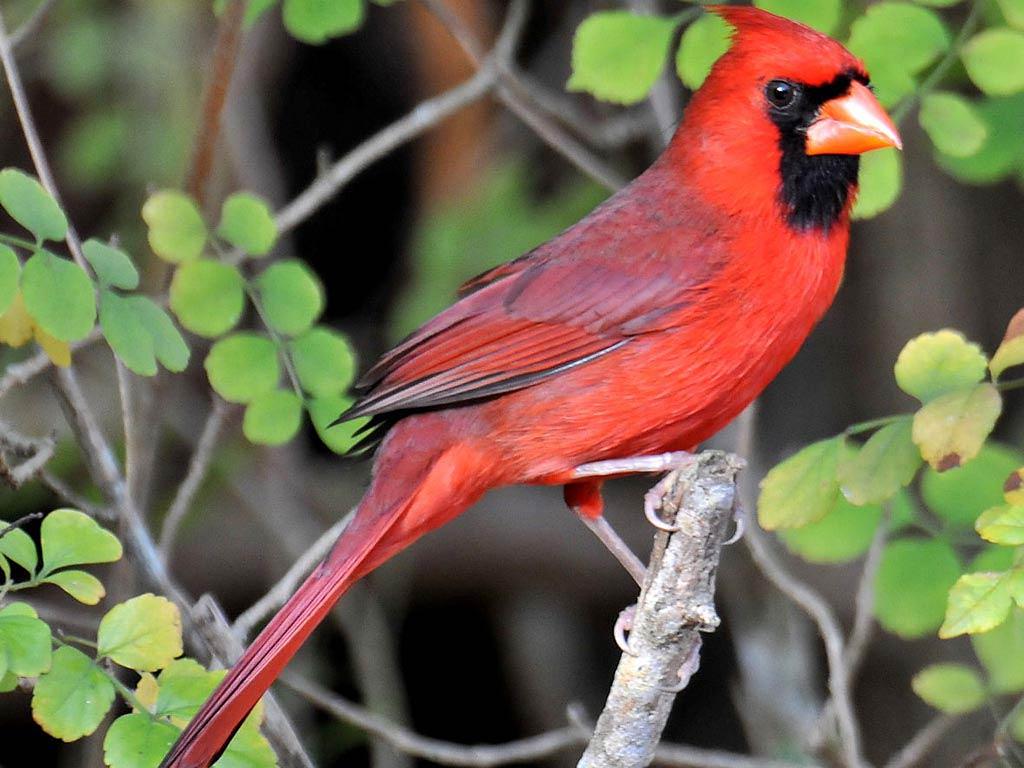 northern cardinal themes northern cardinal wallpaper 1024x768