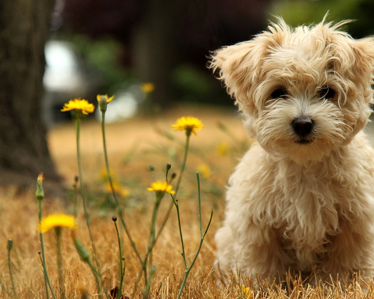 Toy Poodle Cici Wallpapers   1280x1024 wallpaper download  10wallpaper 1280x1024