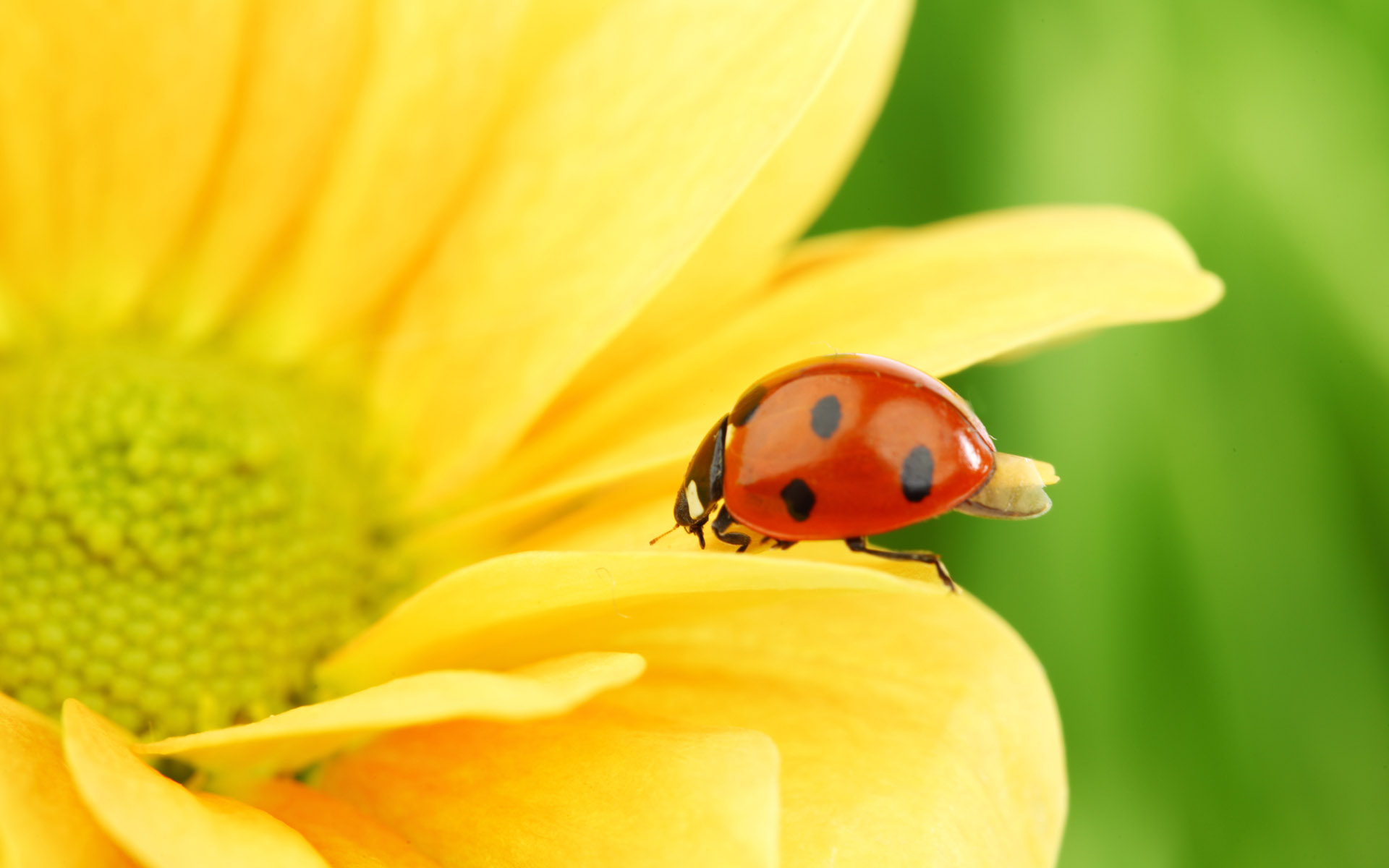 природа насекомое божья коровка цветок  № 3008055 бесплатно