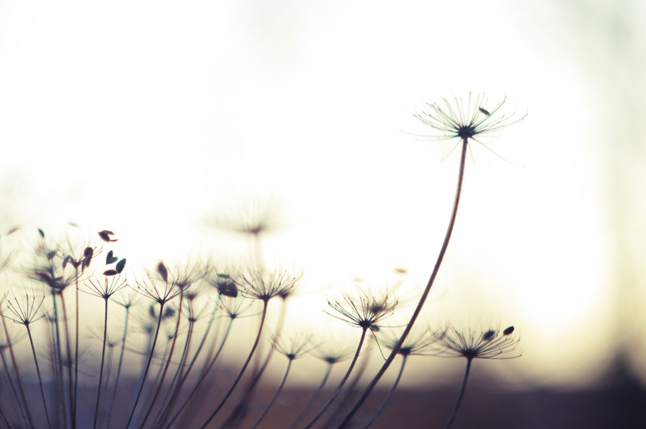 dandelion Archives   Album Art for Musicians Wallpapers Backgrounds 1300x864