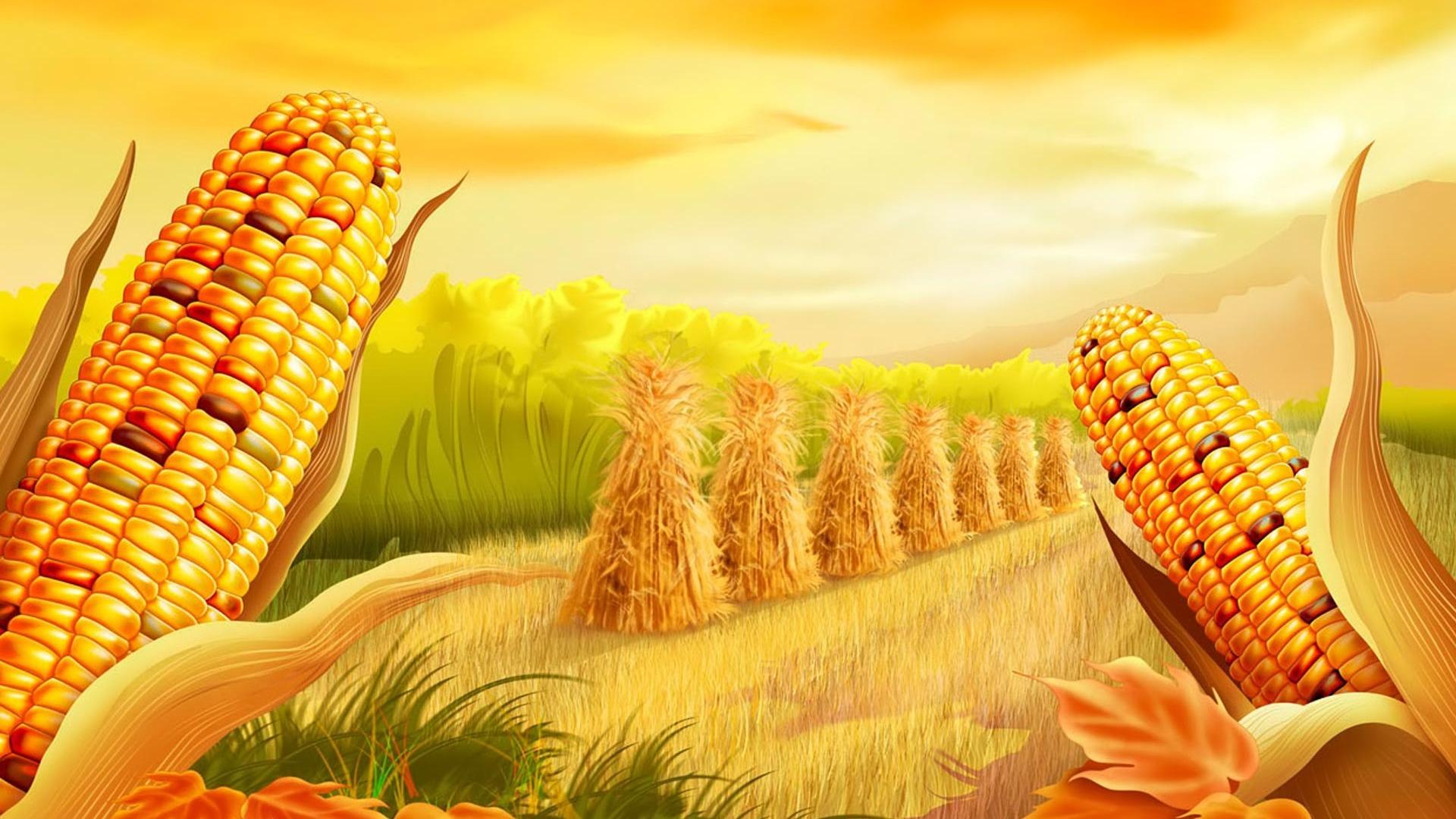 Moril  corn field Computer Wallpapers Desktop Backgrounds 1920x1080