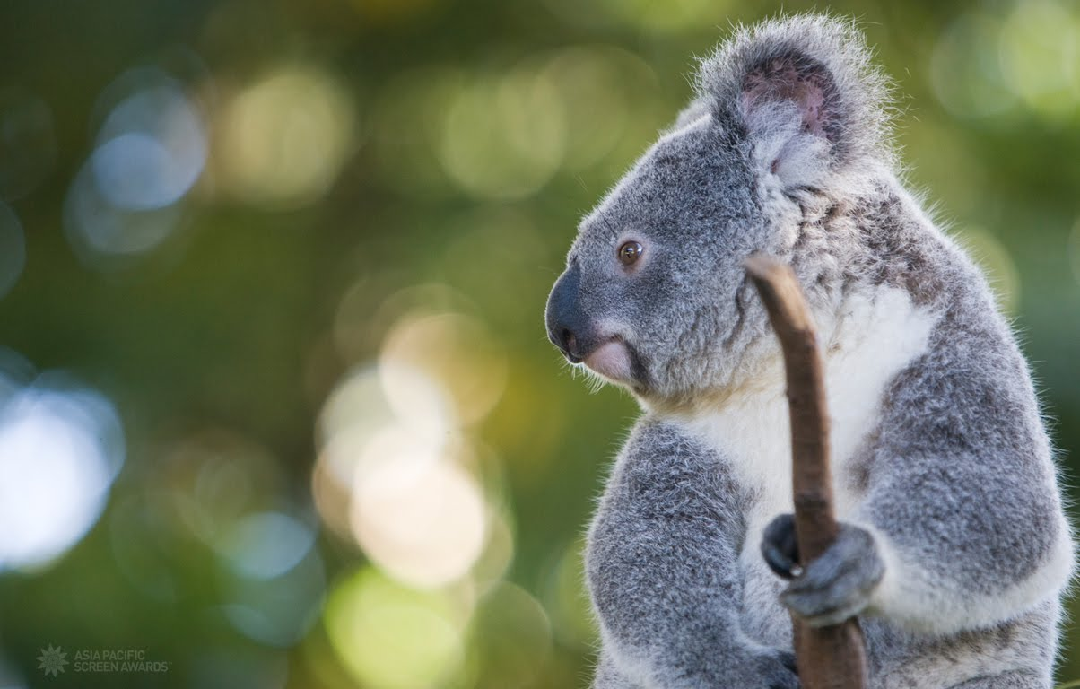 Koala Wallpapers - Pets Cute and Docile