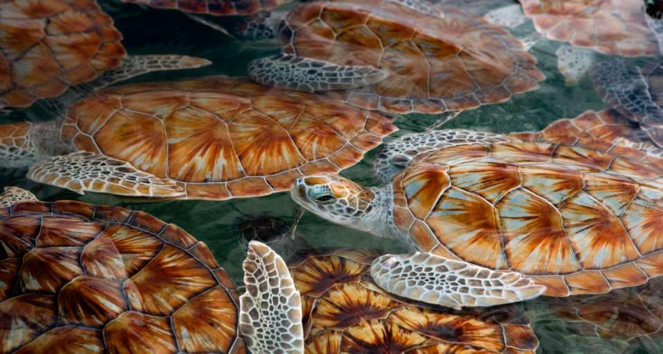 Bing Images   Green Sea Turtle   Green sea turtle hatchlings at 958x512