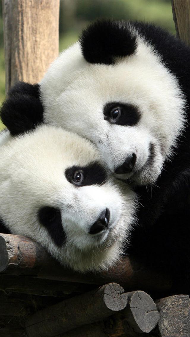 Panda Love iPhone 5 Wallpaper 640x1136 640x1136