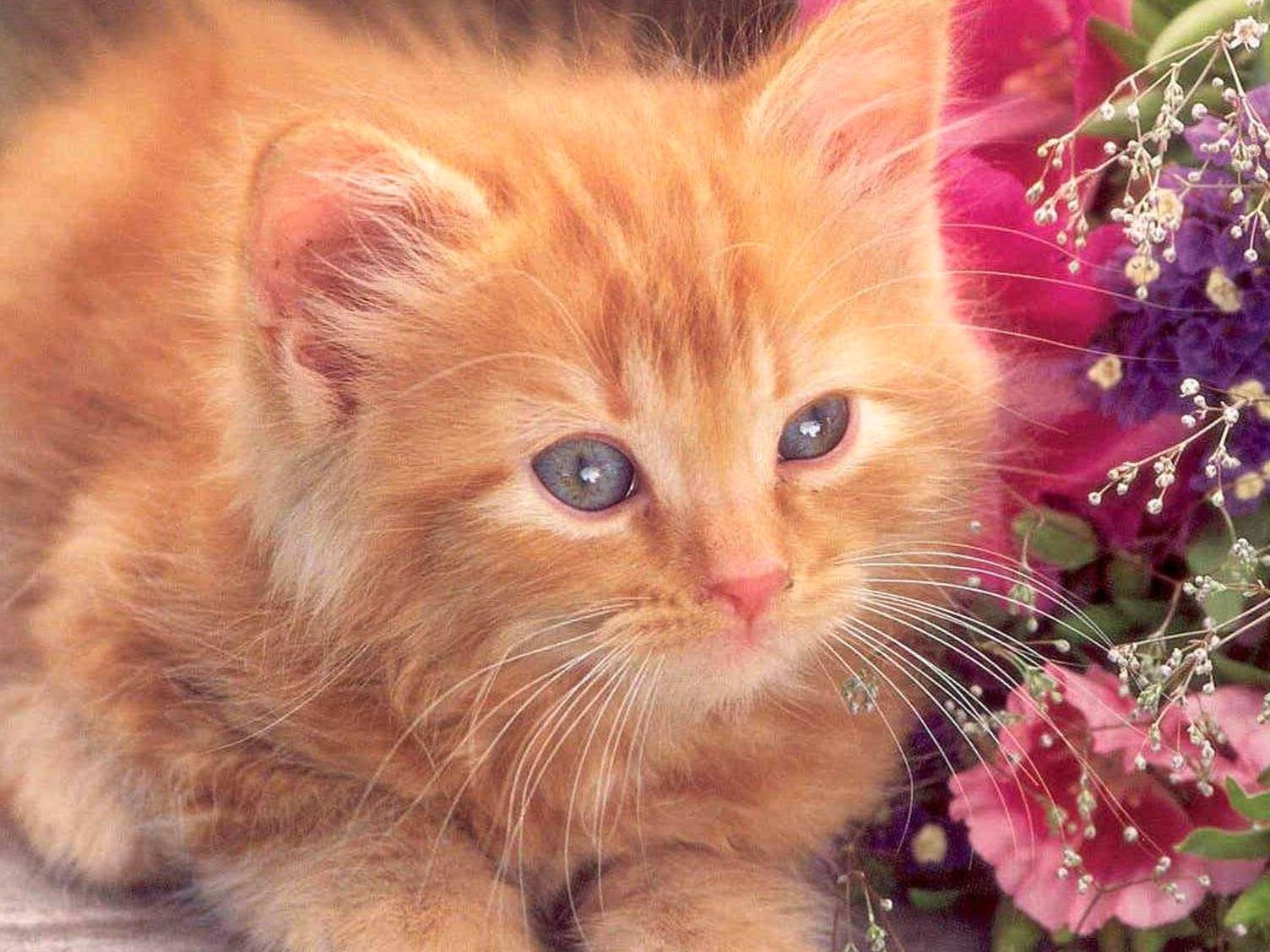 Free Download Amazing Cat Hd Cat Wallpapers Puffy Cats Animal Love Baby 1504x1128 For Your Desktop Mobile Tablet Explore 64 Love Wallpaper Desktop Beautiful Love Wallpapers Love Background Wallpaper