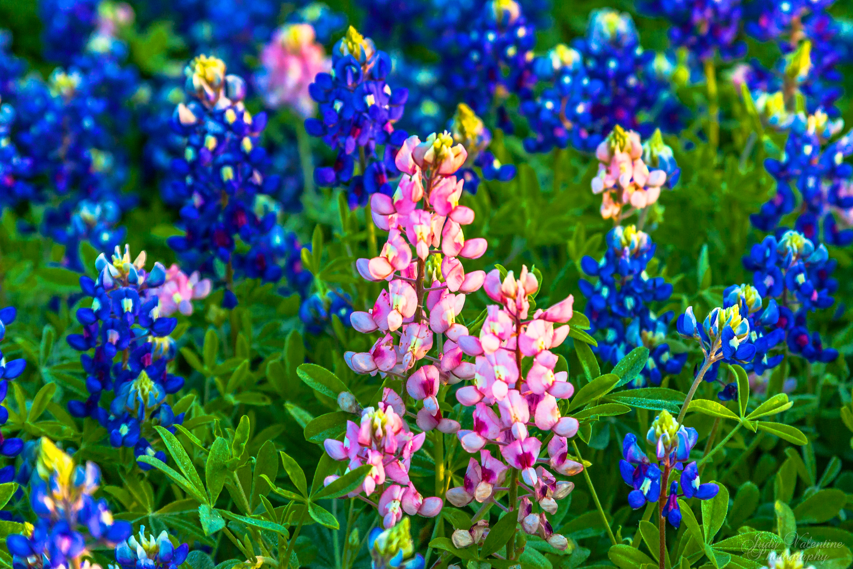 bluebonnet wallpaper wildflowers wallpapersafari