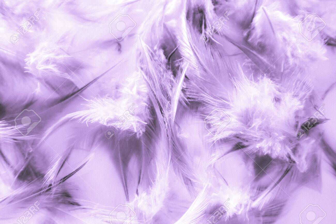 Beautiful Abstract Close Up Color White Pink And Purple Feathers 1300x866