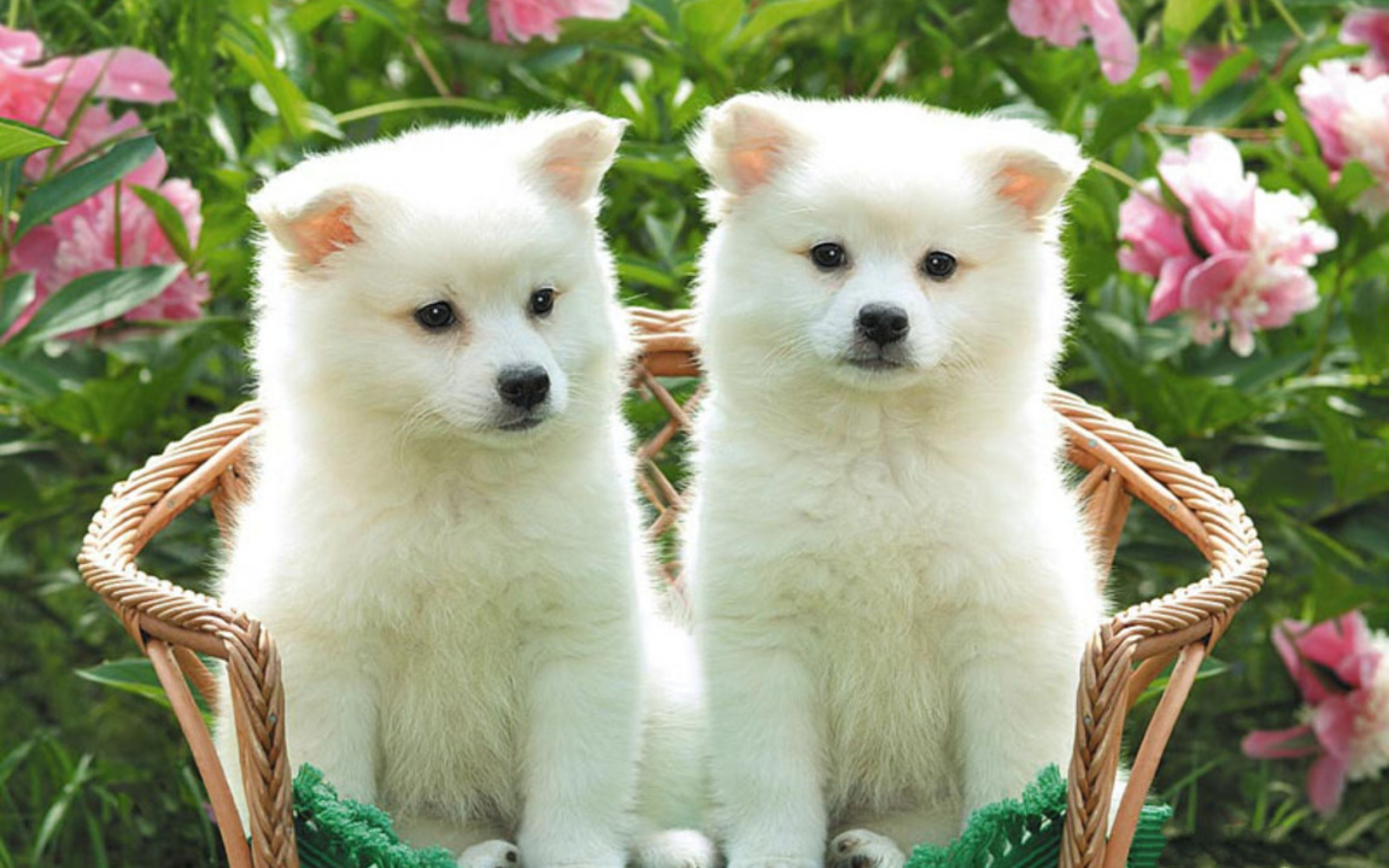 Cute Puppy HD Wallpapers 2560x1600