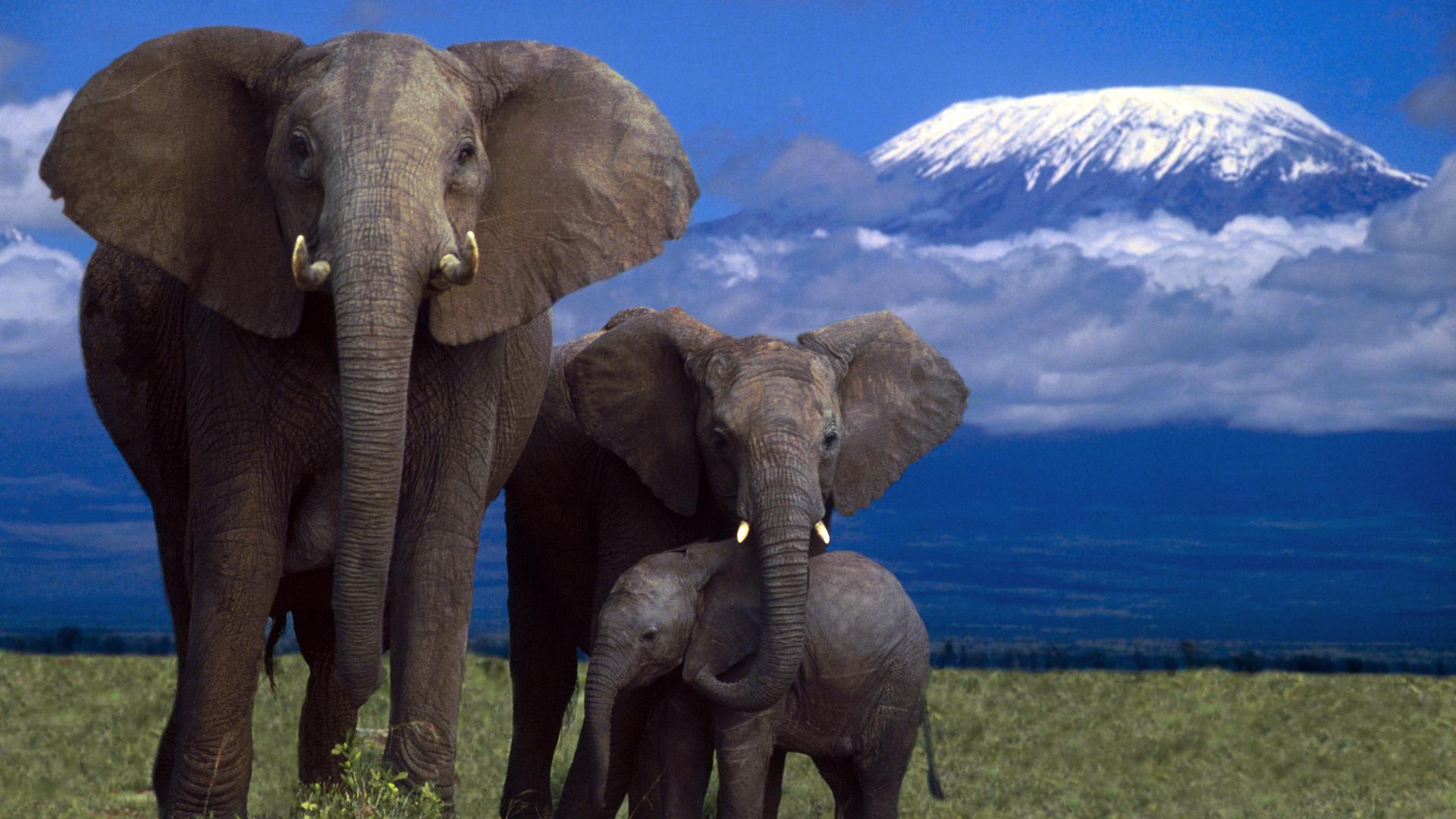 Wallpaper Elephant Family Mountain Kilimanjaro Mount 1920x1080