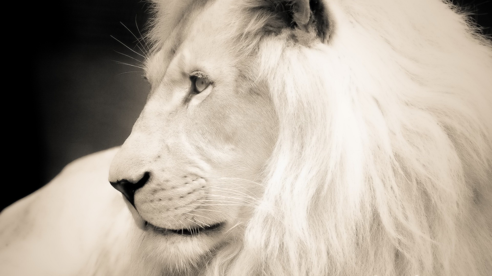 Wallpaper white lion profile mane White lion 1920x1080