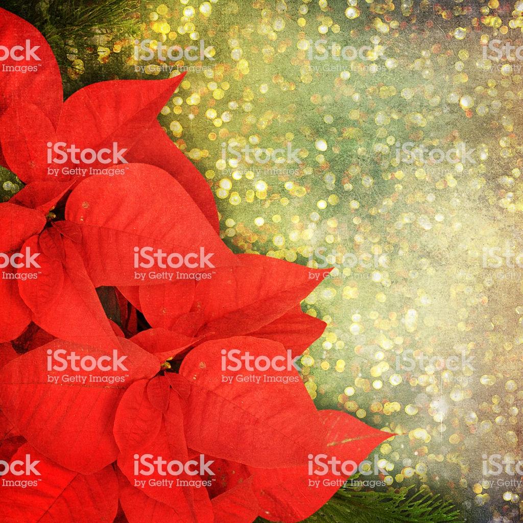 Christmas Flower Poinsettia Background Stock Photo   Download 1024x1024