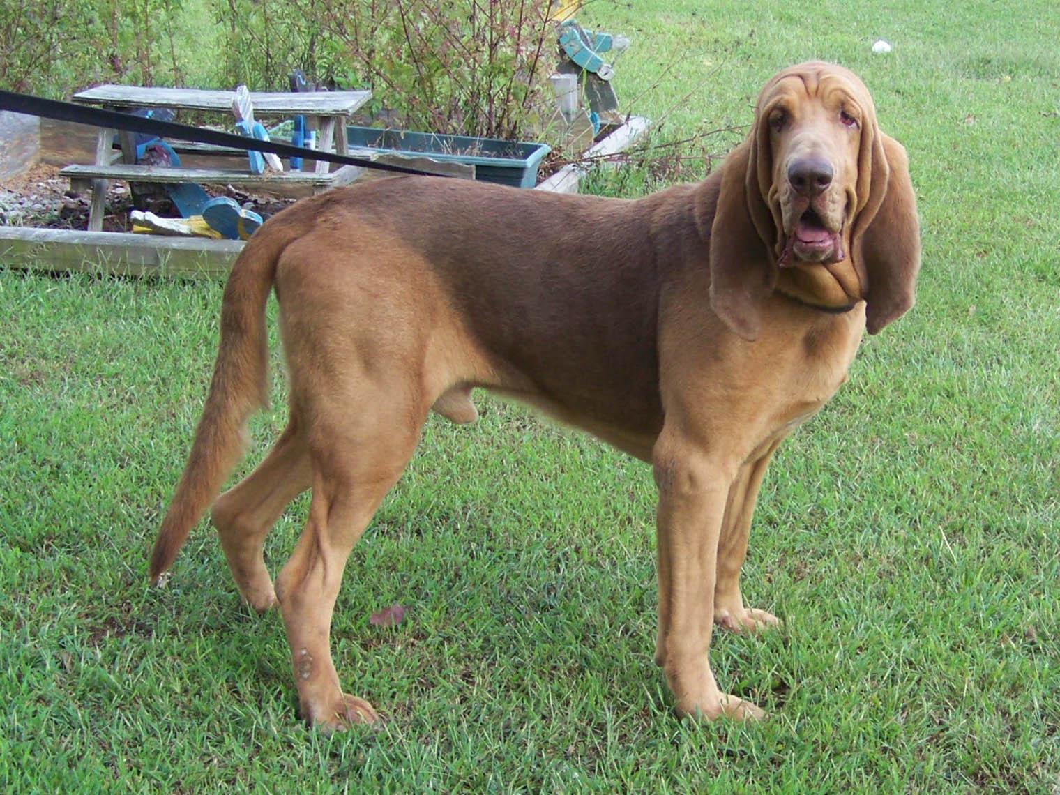 download Bloodhound 32 High Resolution Wallpaper 1520x1140