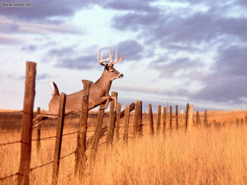 whitetail deer wallpaper Wallpaper and Screensaver 1024x768