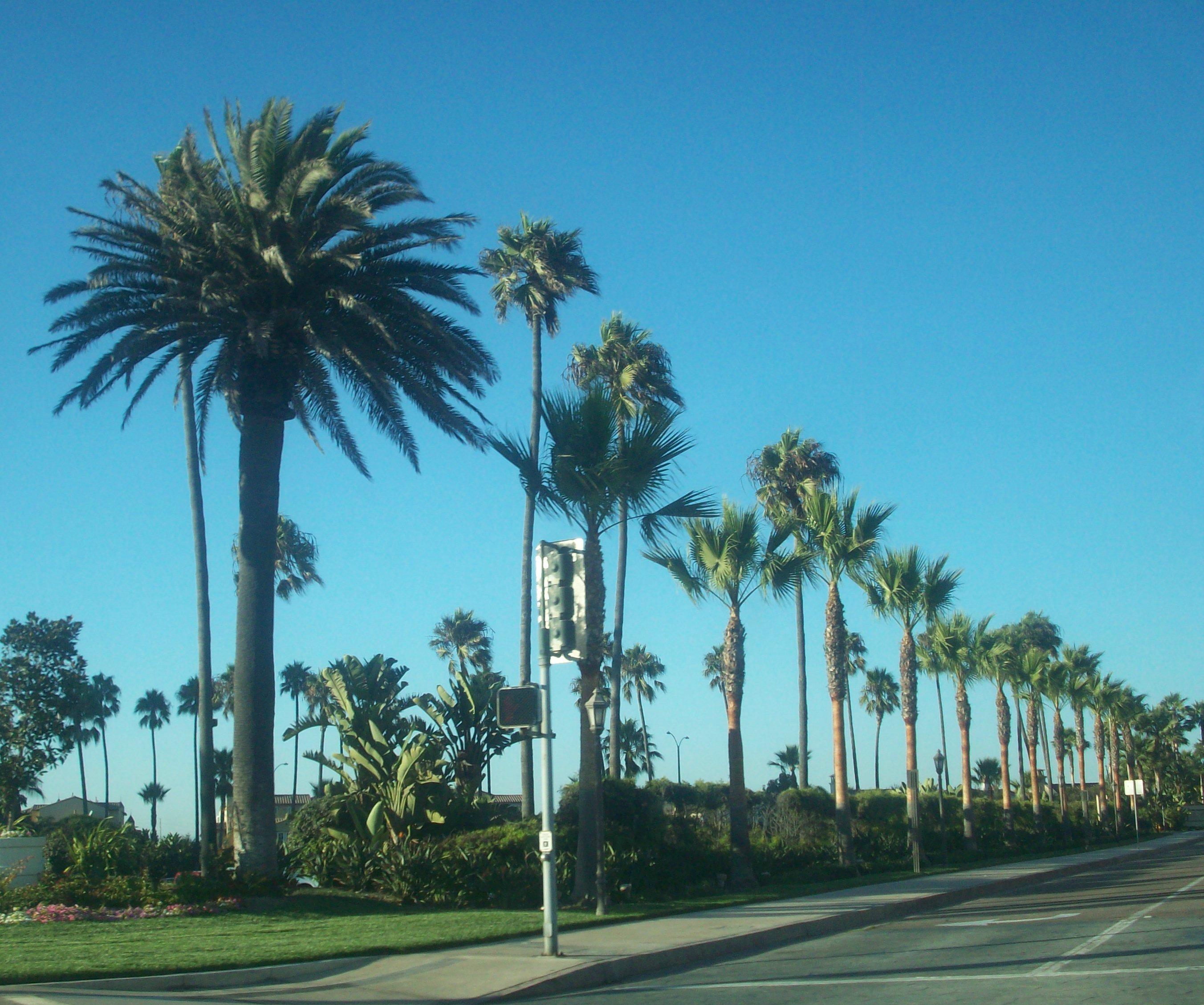 palm trees 2704x2258