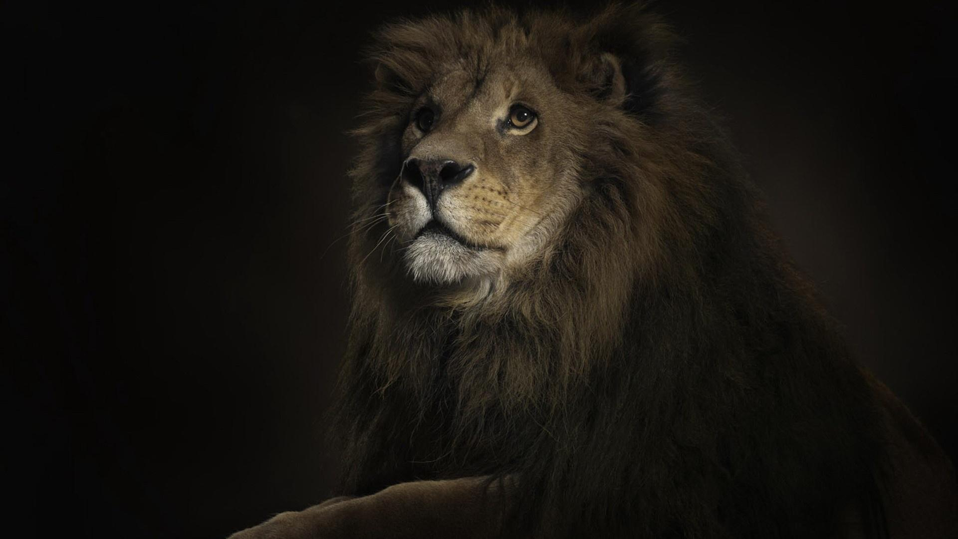 47 Lion Wallpaper Hd On Wallpapersafari