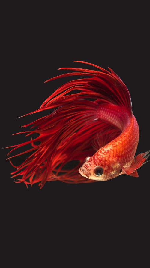 Apple iPhone 6s Wallpaper with Super Red Crowntail Betta Fish in Dark 500x889