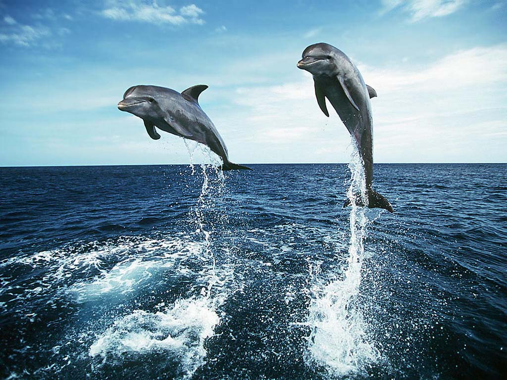 free desktop dolphin wallpaper 1024x768