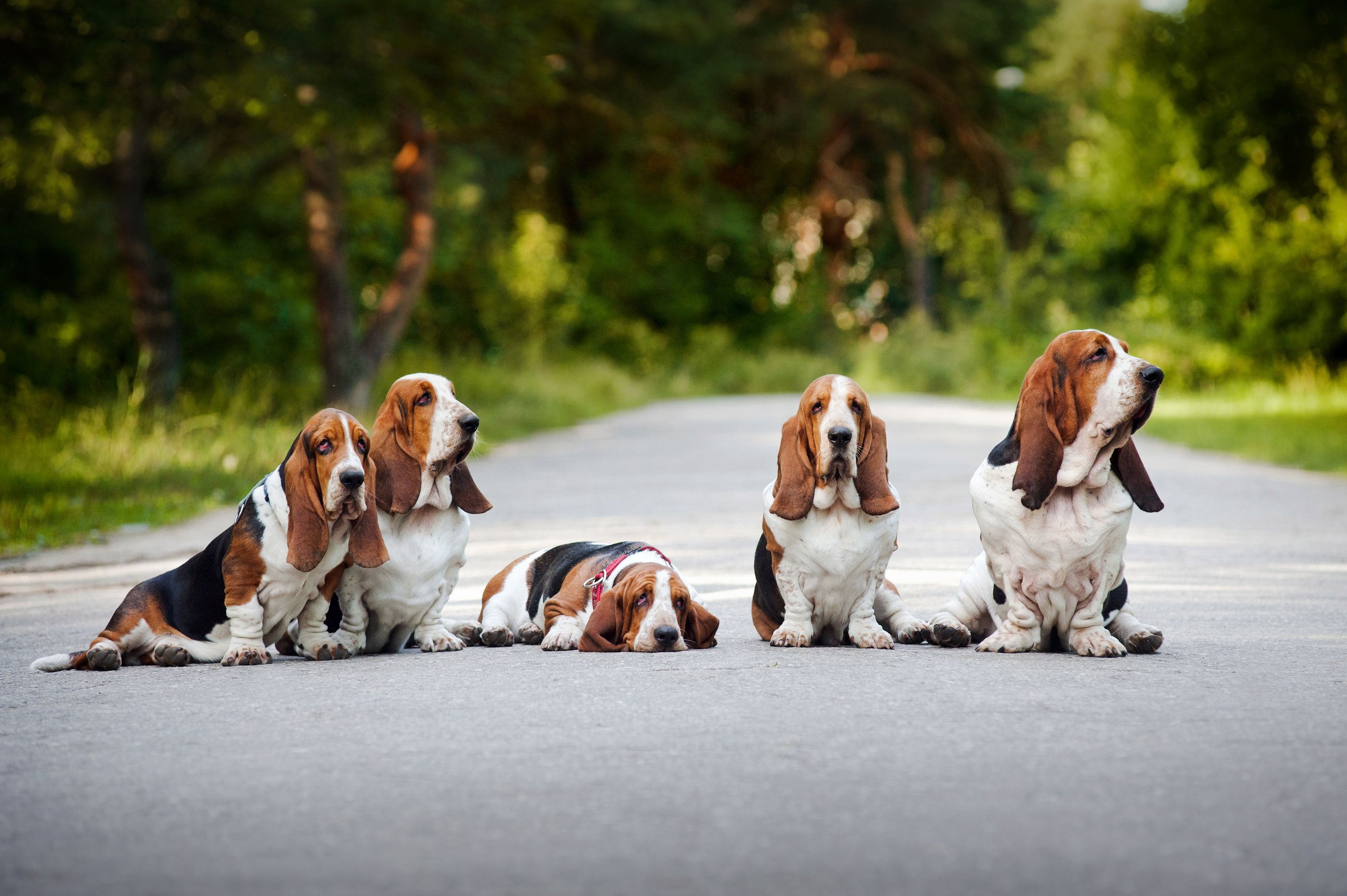 basset hound wallpaper Family Basset Hound sitting on the road 2800x1863