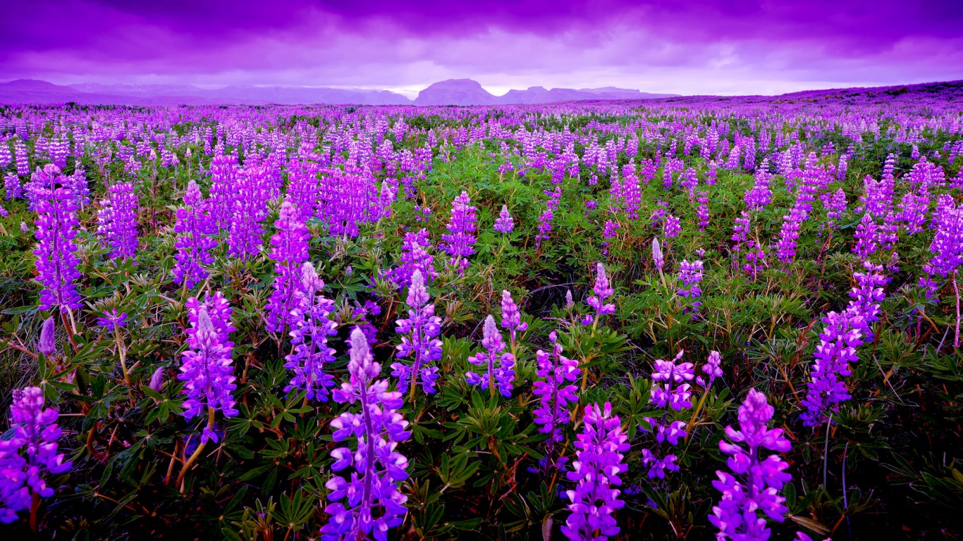 Lavender Plant Landscaping   wallpaper 1366x768