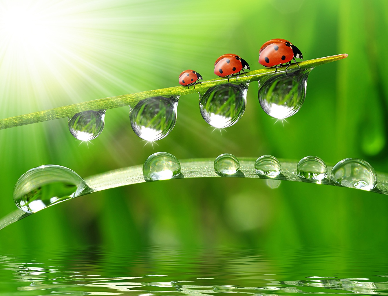 Wallpaper Ladybird Insects Drops Grass Three 3 Animals Closeup 1340x1024