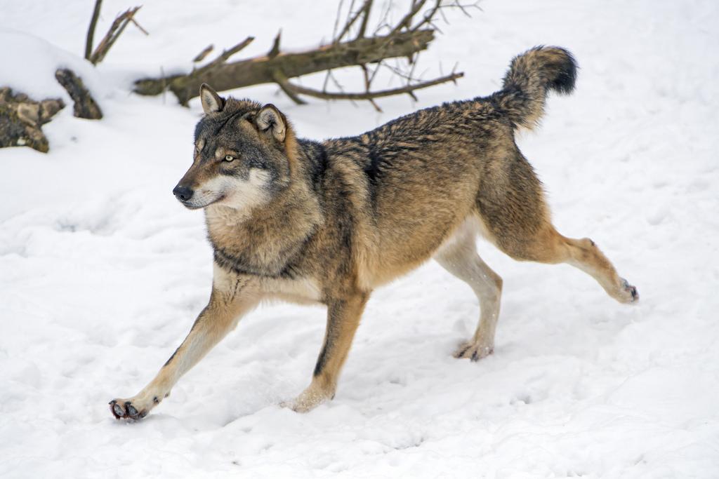Running Wolf Wallpapers Wallpapersafari