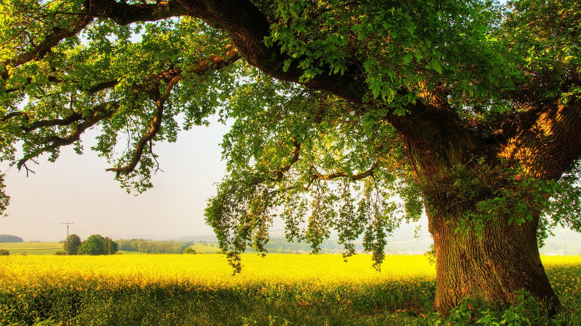 Oak tree Wallpaper 9606 1920x1080