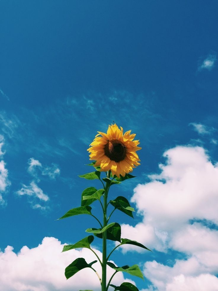 art hipster vintage indie soft grunge sunflower blue 736x981