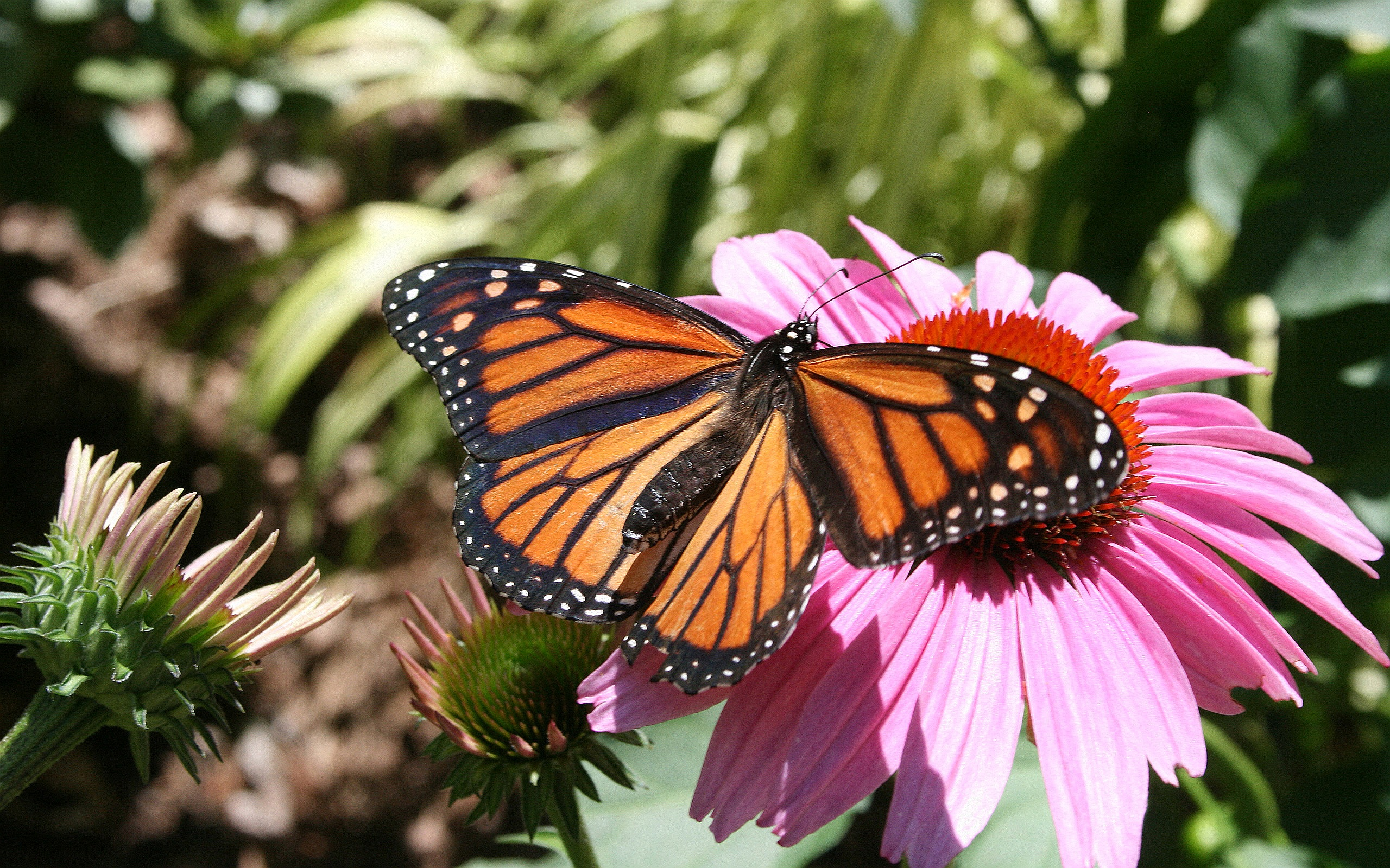 Monarch Butterfly 18 Wallpaper   Hivewallpapercom 2560x1600