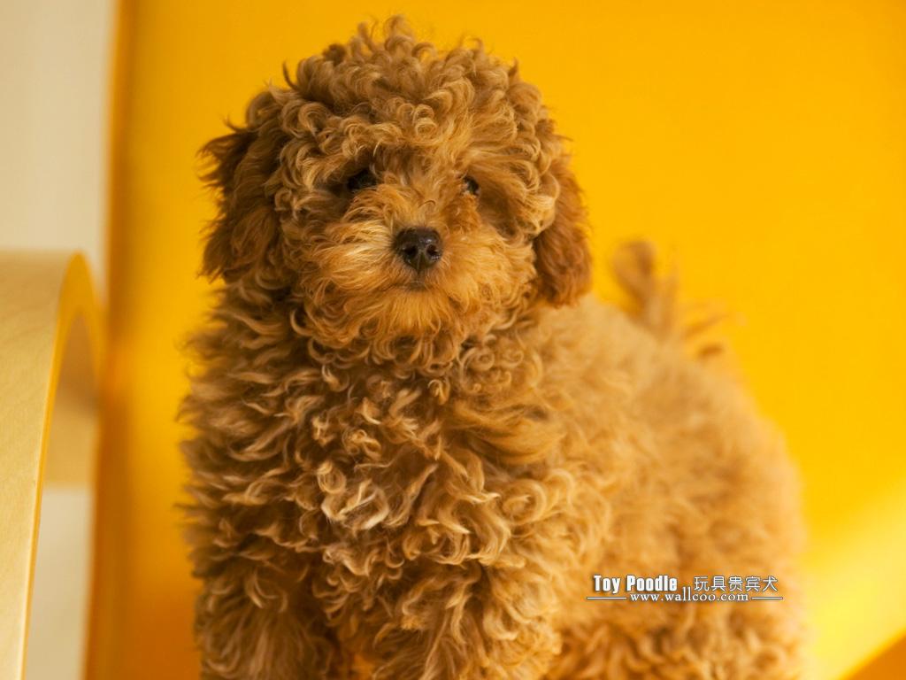 Toy Poodle Puppy Wallpapers 1024x768 NO6 Desktop Wallpaper   Wallcoo 1024x768
