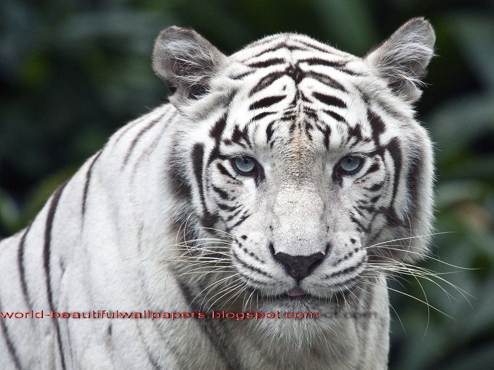 Beautiful Wallpapers white bengal tiger pictures 1600x1200