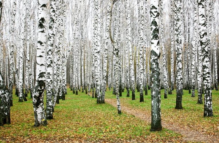 White Birch Forest Wallpaper Wall Mural MuralsWallpapercouk 764x500