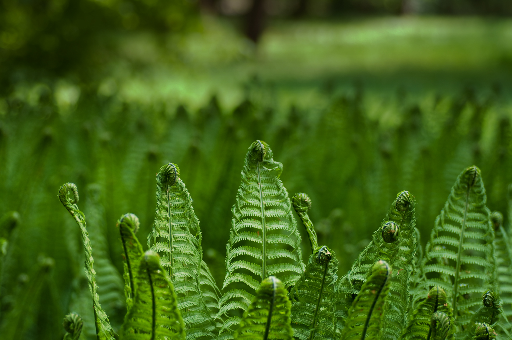 Green Fern Wallpaper Wallpapersafari