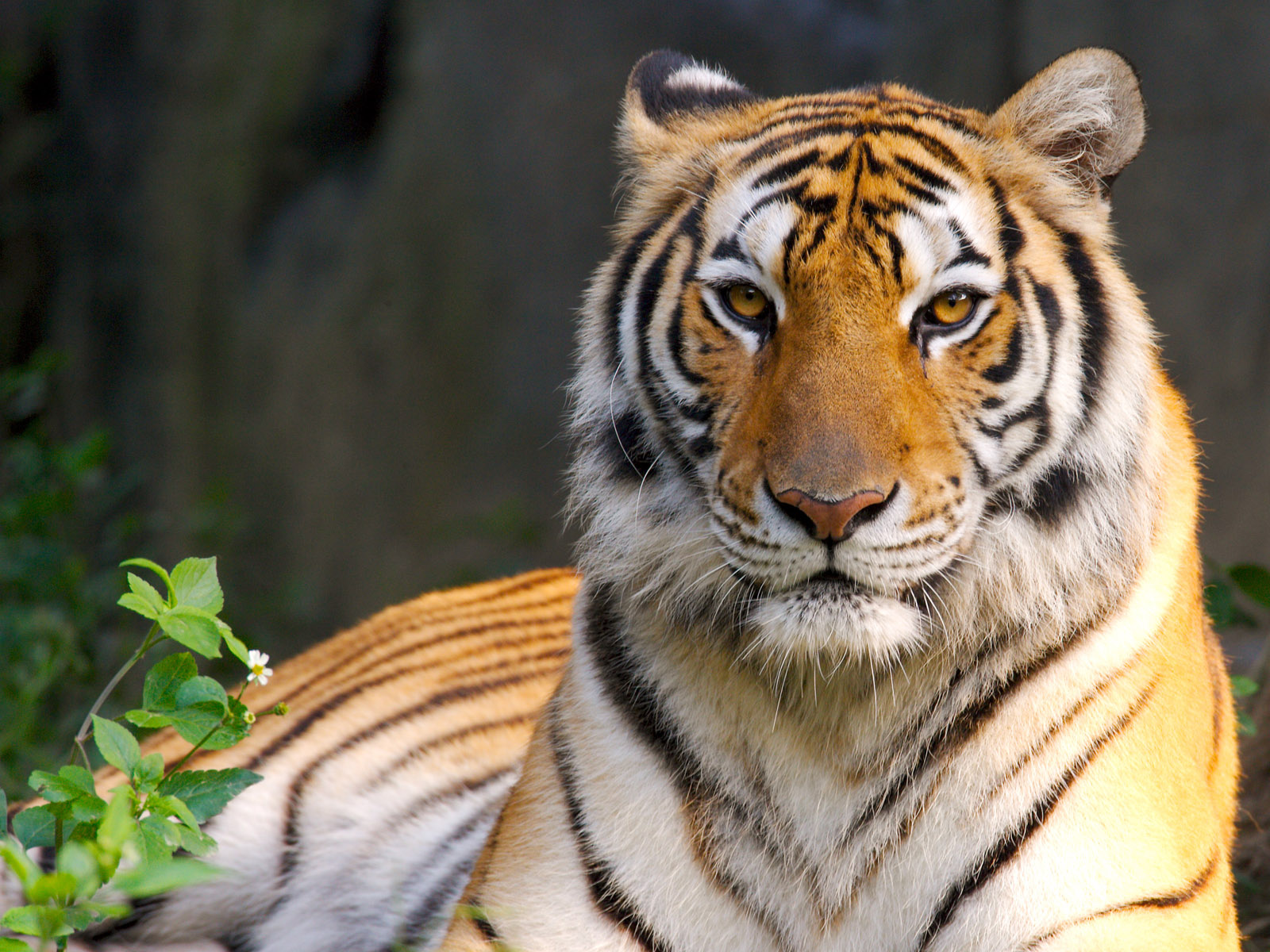 most beautiful animal tiger wallpaper 1600x1200
