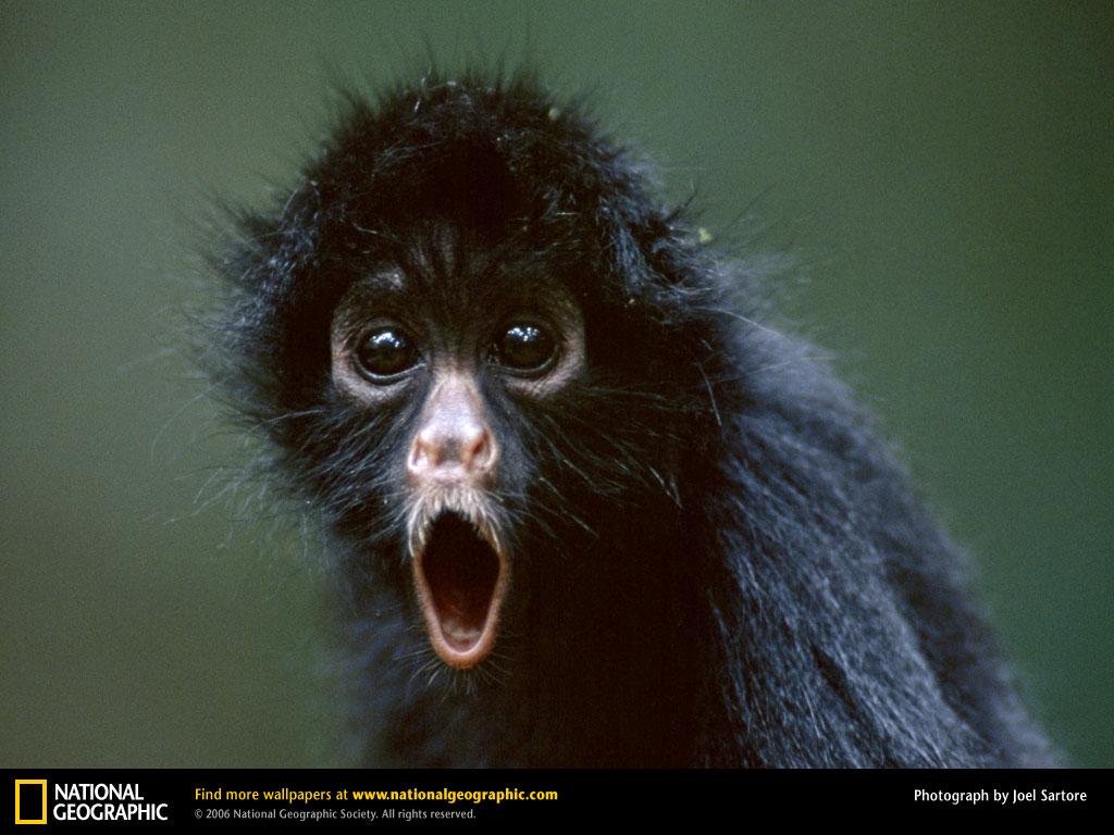 Monkey Picture Spider Monkey Desktop Wallpaper Wallpapers 1024x768