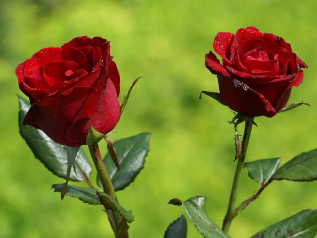 flower lovers Beautiful Rose flowers