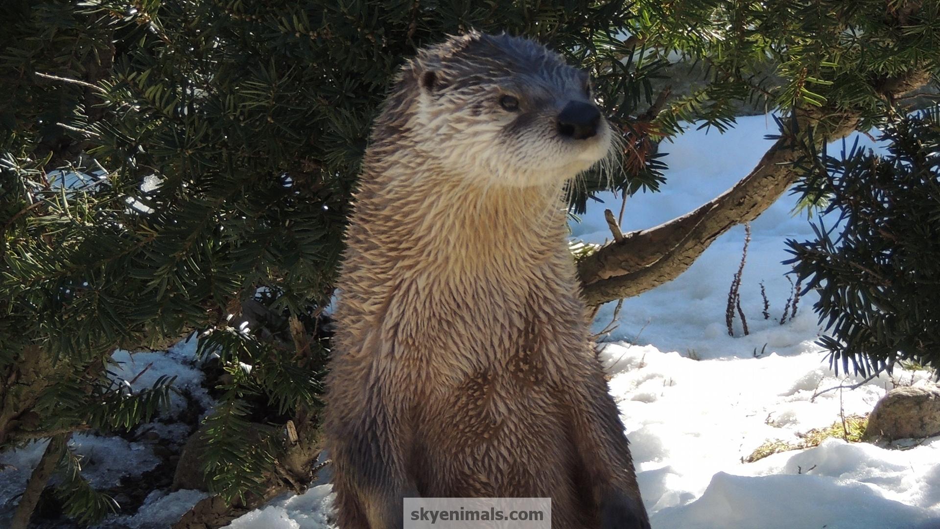 Cute Otter wallpaper   838171 1920x1080