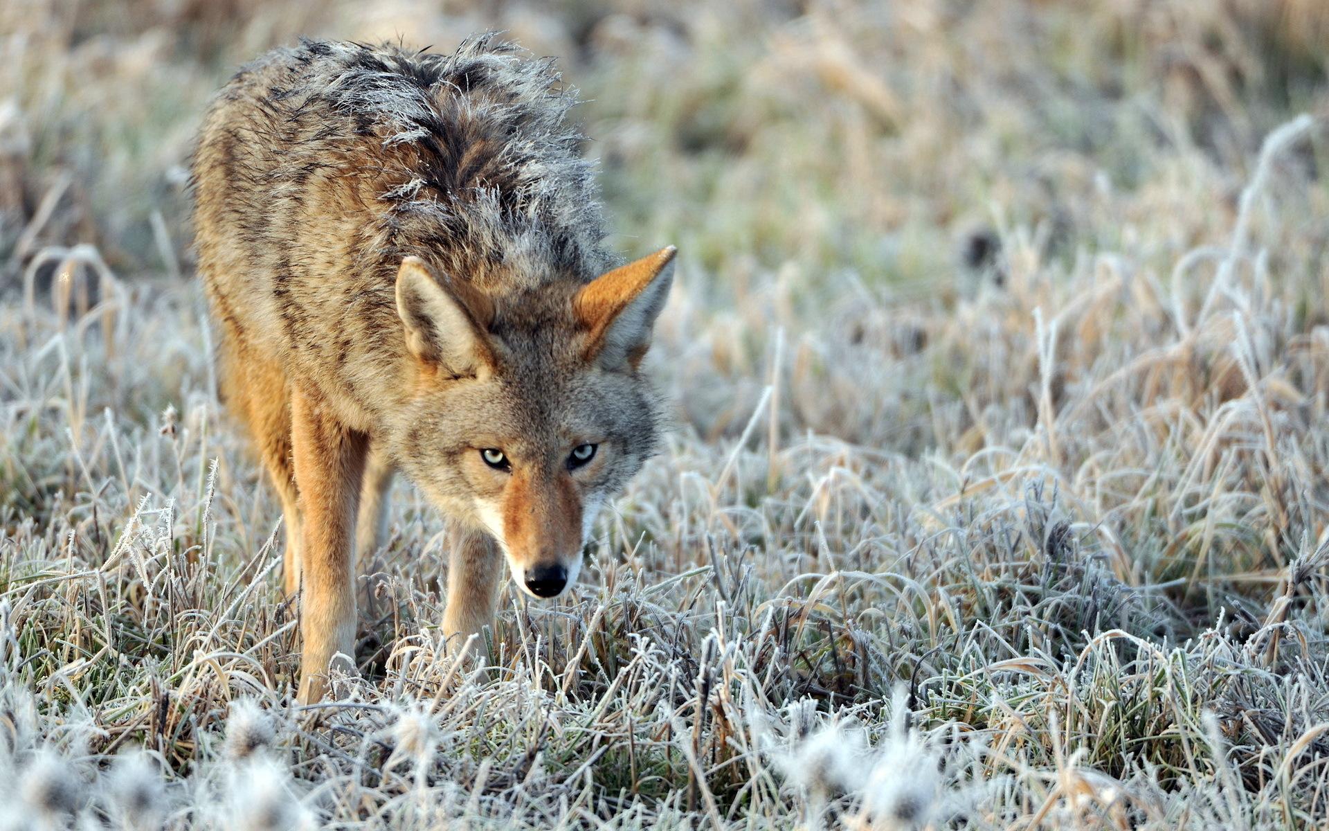 Coyote Wallpaper - WallpaperSafari