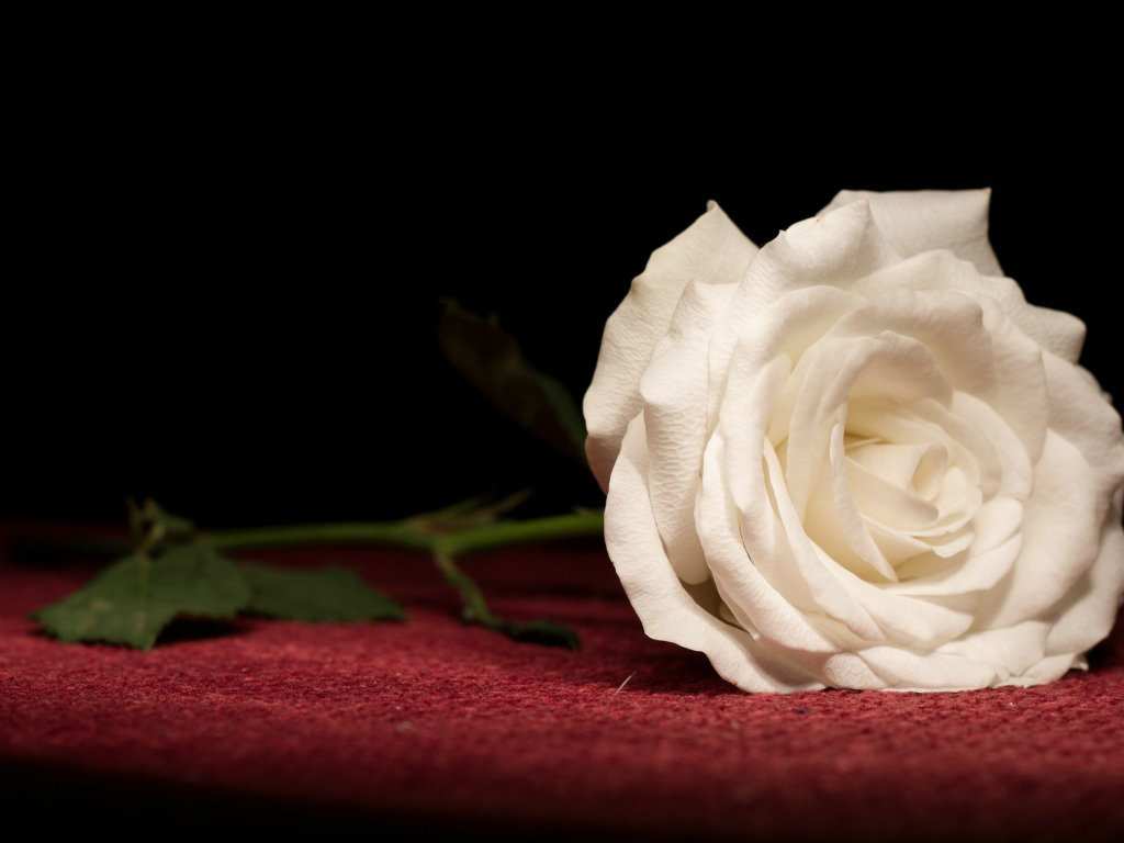 White Rose Wallpapers HD Pictures For Desktop Flowers 1024x768