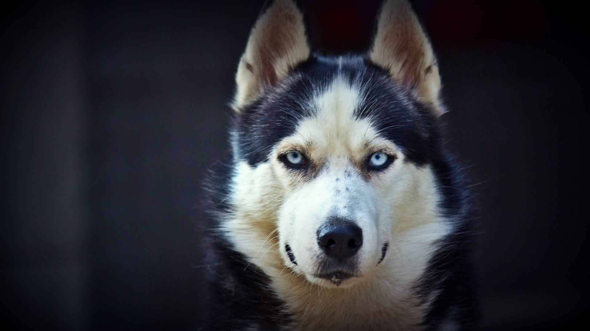 Husky Wallpapers 86 background pictures 1920x1080