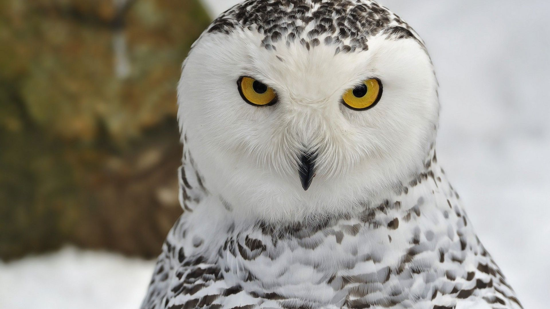 Snow owl Wallpaper 8552 1920x1080