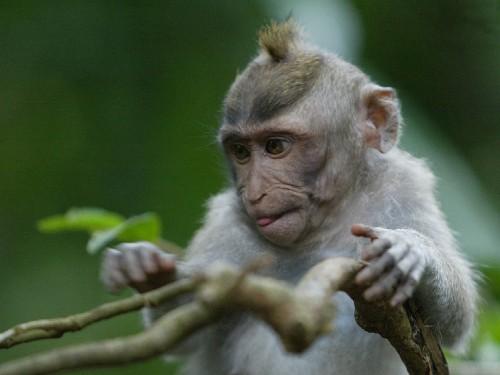 Bali Monkey Forest Little Monkey Screensaver Screensavers 500x375