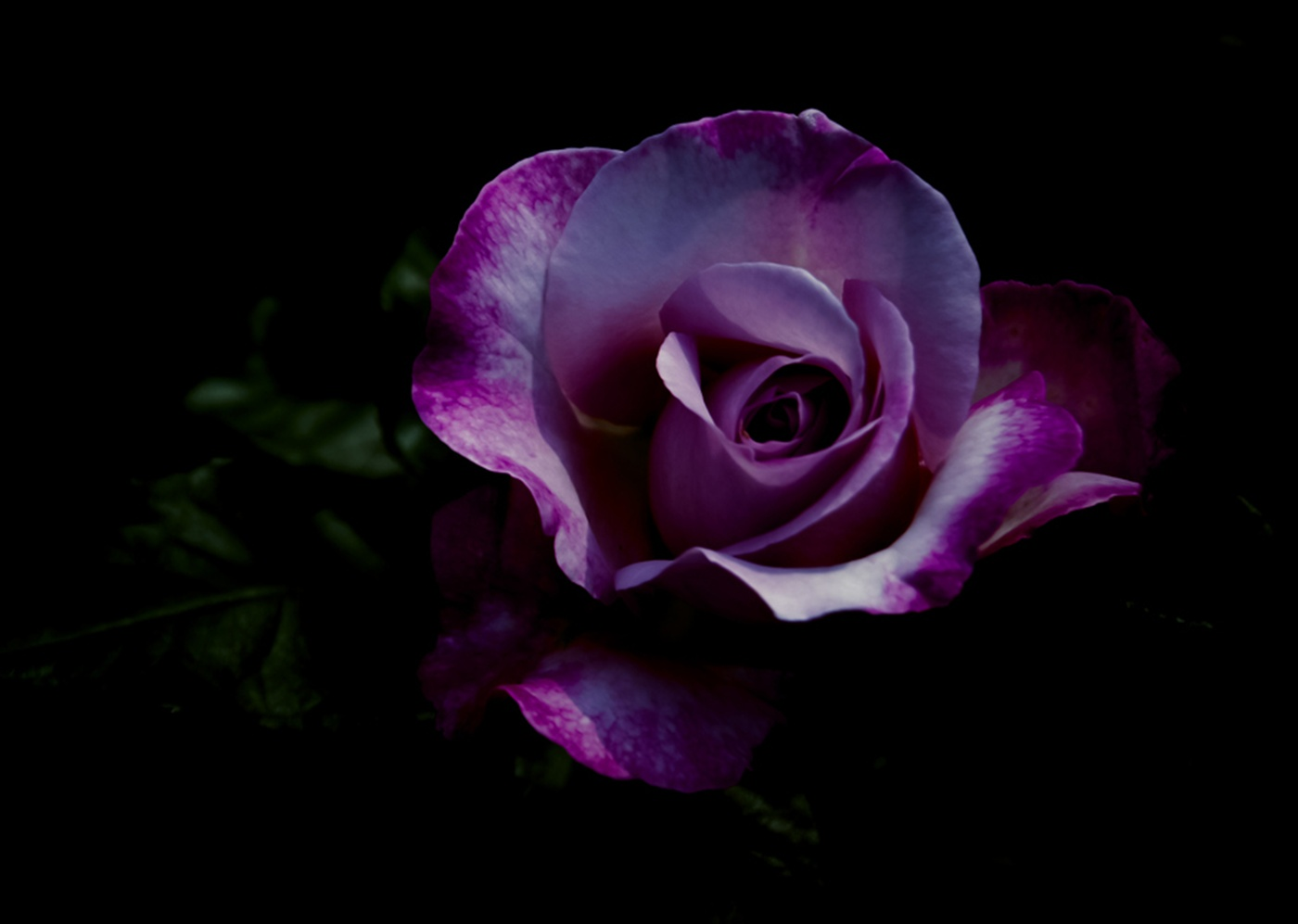 Violet Rose Wallpaper - WallpaperSafari