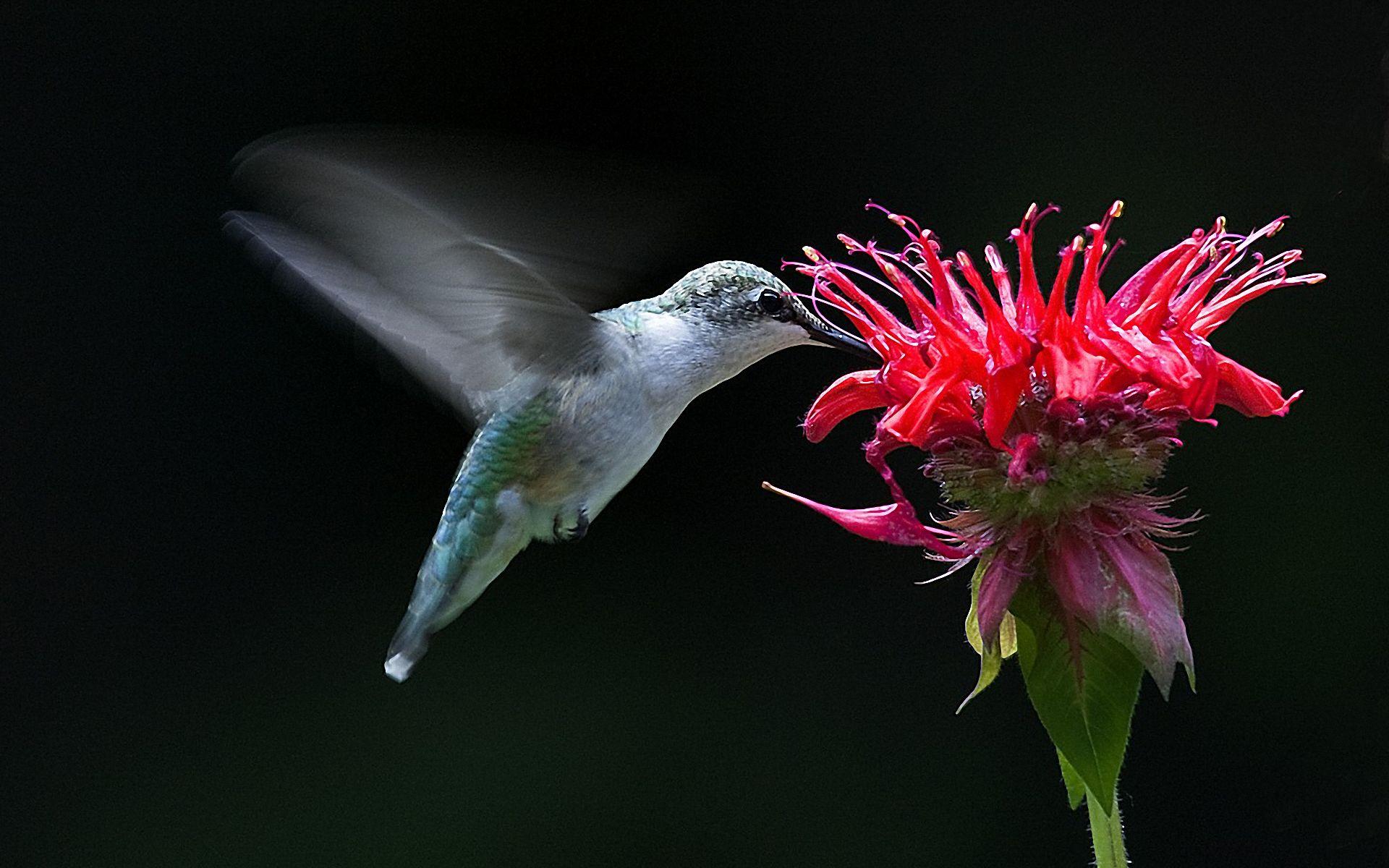1920x1200px free hummingbird wallpaper and screensaver wallpapersafari