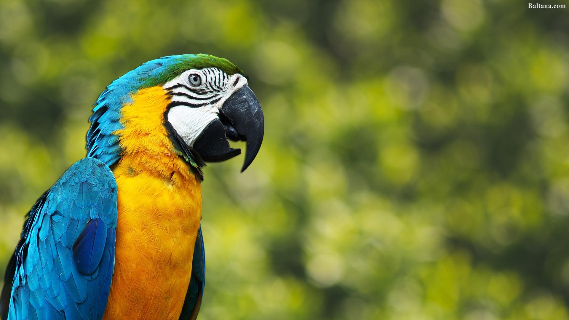 Parrot Background Wallpaper 31666   Baltana 1920x1080