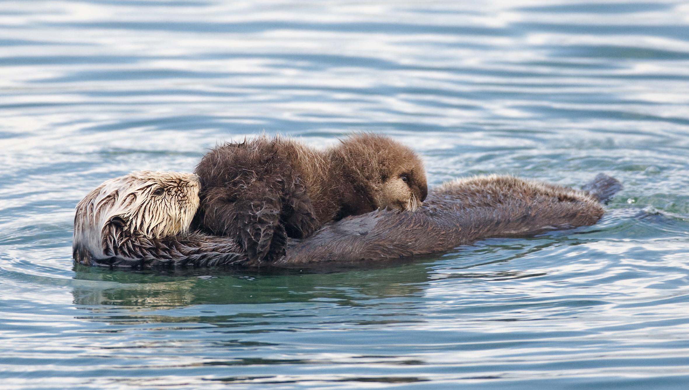 FileSea otter nursing02jpg   Wikimedia Commons 2361x1338