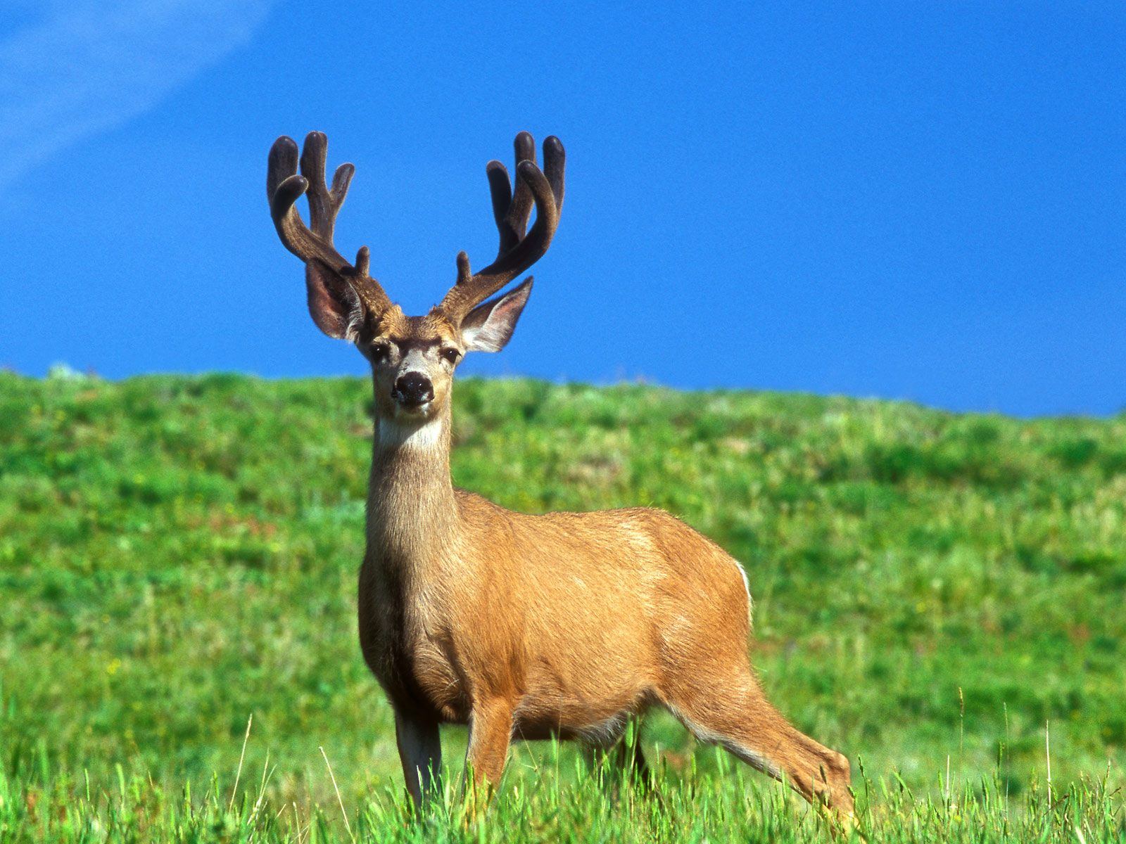 deer wallpaper for computerdeer pictures deer desktop wallpaperfree 1600x1200