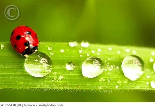 dew drops   Bing Images Lady Bugs Bumble Bees Pinterest 540x378