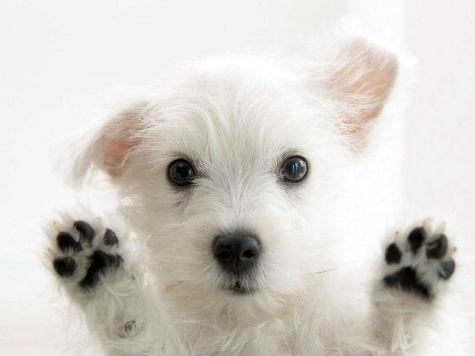 Cute White Dog Photo Wallpaper on this Dogs Wallpapers Backgrounds 1600x1200