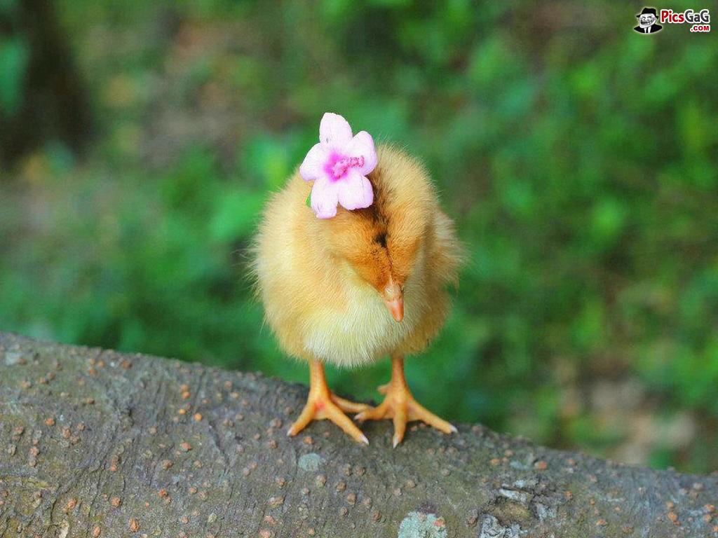 Free Download Cute Baby Chicken Wallpaper Cute Baby Girl