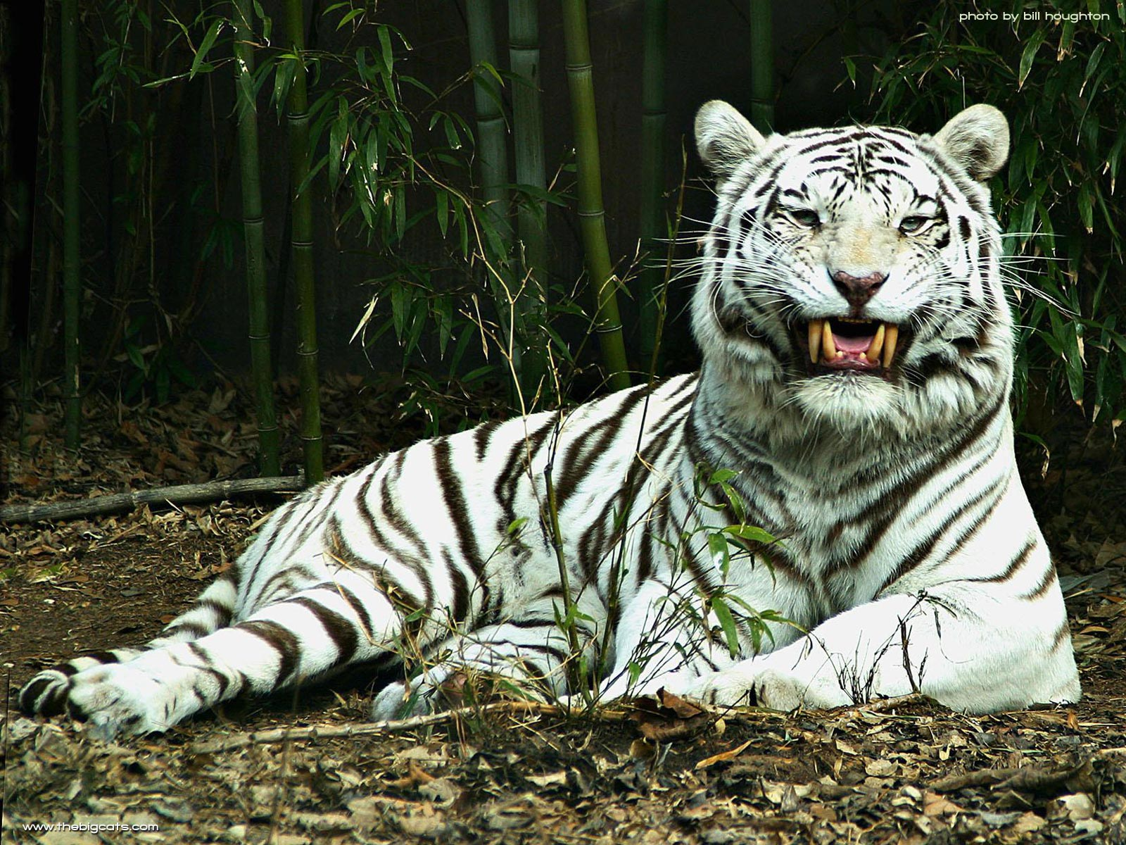 HD Animals Wallpapers White Tiger Wallpapers for Desktop 1600x1200